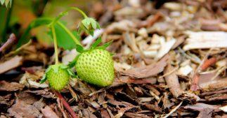 paillage fraisier
