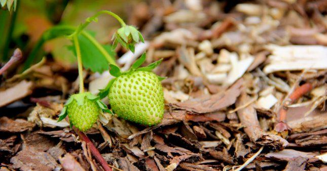 Jardinage – En avril et mai, le paillage des fraisiers et framboisiers