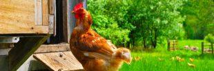 Confinés, les Français achètent des poules pondeuses