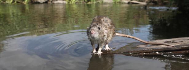 comportement des rats