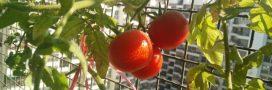 Cultiver des tomates sur son balcon… On s'y met cette année?