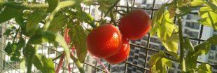 Cultiver des tomates sur son balcon... On s'y met cette année ?