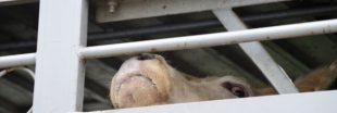 L214 dénonce une nouvelle fois le calvaire des veaux transportés à travers l'UE