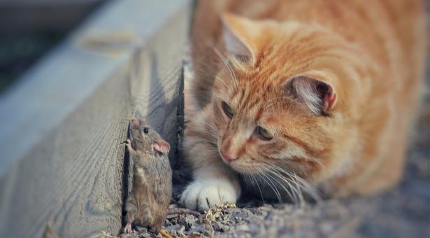 répulsif rat