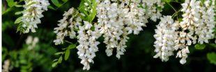 C'est le moment de se régaler de beignets de fleur d'acacia !