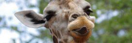 Si les Hommes vivaient comme des girafes…