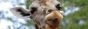 Si les Hommes vivaient comme des girafes...