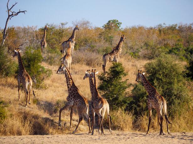 langue girafe