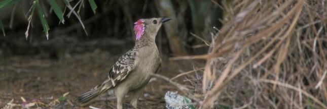 Si les humains vivaient comme des oiseaux jardiniers...