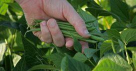 Comment réussir ses semis de haricots année après année