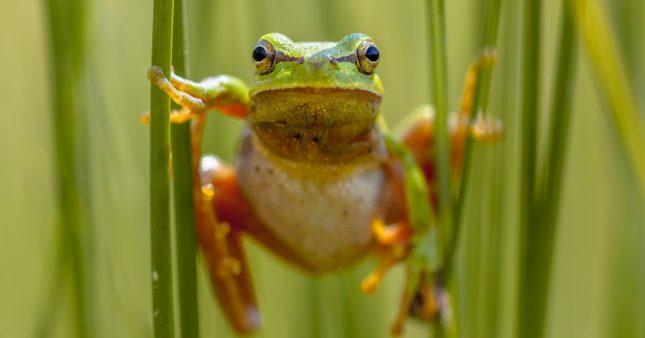 Dans la famille Biodiversité ordinaire, protégeons la rainette verte