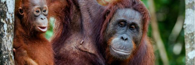 Si les humains vivaient comme des orangs-outans…