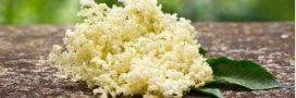 Goûtez les fleurs de sureau… La récolte a commencé!