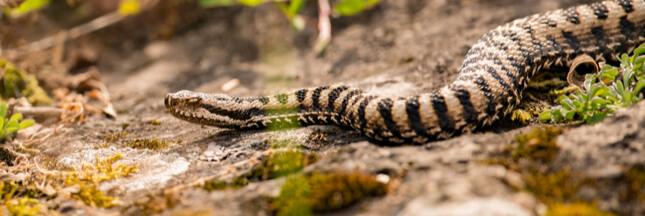 Dans la famille Biodiversité ordinaire, protégeons la vipère aspic