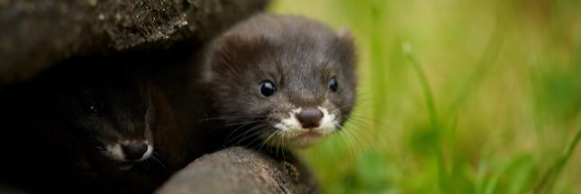 Dans la biodiversité ordinaire, protégeons le vison d'Europe