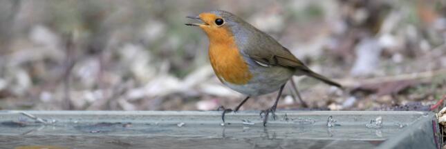 Pour aider les oiseaux, installez-leur un abreuvoir