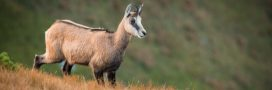 Dans la famille biodiversité ordinaire, protégeons le chamois…