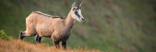 Dans la famille biodiversité ordinaire, protégeons le chamois...