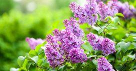 La bouture du mois de juin: multiplier les lilas