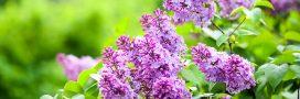 La bouture du mois de juin : multiplier les lilas