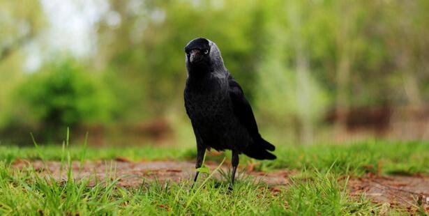 corbeau champ