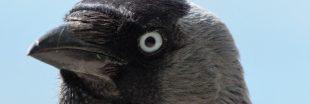 Les champs de Bretagne envahis par des hordes de corbeaux