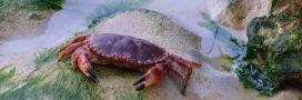 Dans la famille biodiversité ordinaire, protégeons le crabe tourteau