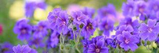 6 fleurs de balcon qui durent longtemps !