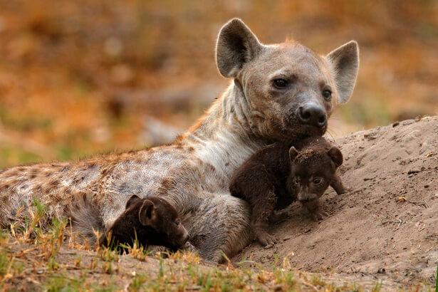 bébé hyene