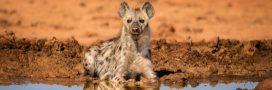 Si les Hommes vivaient comme des hyènes…