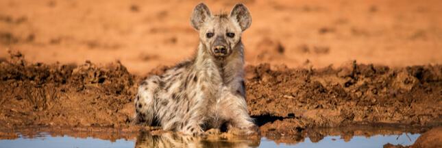 Si les humains vivaient comme des hyènes…
