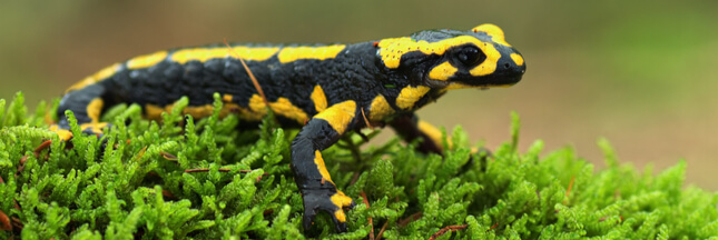 Dans la famille biodiversité ordinaire, protégeons la salamandre