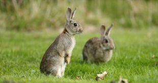 Dans la famille biodiversité ordinaire, protégeons le lapin