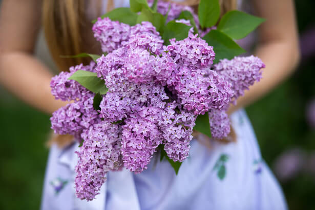 bouture lilas