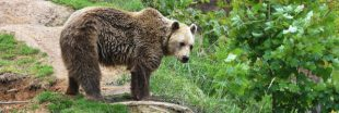 Nouvel ours tué par balle : les Pyrénées divisées