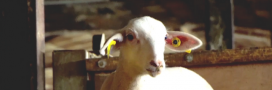 Abattoir de Rodez: la suspension immédiate ordonnée après une enquête de L214