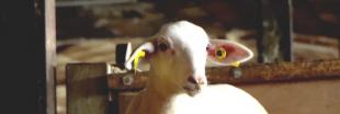 Abattoir de Rodez : la suspension immédiate ordonnée après une enquête de L214