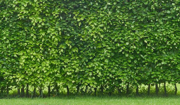 plante brise-vue