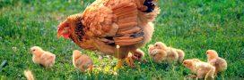 C'est prouvé: les poules n'ont pas oublié leurs origines