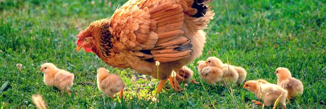 C'est prouvé : les poules n'ont pas oublié leurs origines