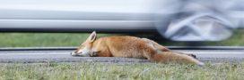 Des millions d'animaux morts sur les routes d'Europe chaque année