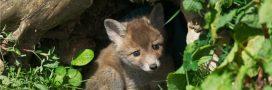 La vidéo d'un massacre de renards fait scandale