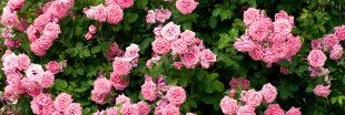 La rose et la taille des rosiers : tout savoir sur cette star des jardins