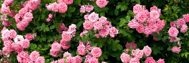 La rose et la taille des rosiers: tout savoir sur cette star des jardins