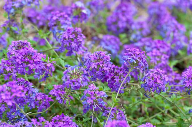 fleurs de balcon