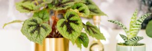 Bouturez votre Begonia Rex au mois de juillet