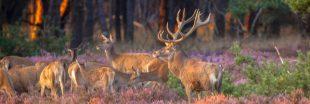 Dans la famille biodiversité ordinaire, protégeons le cerf