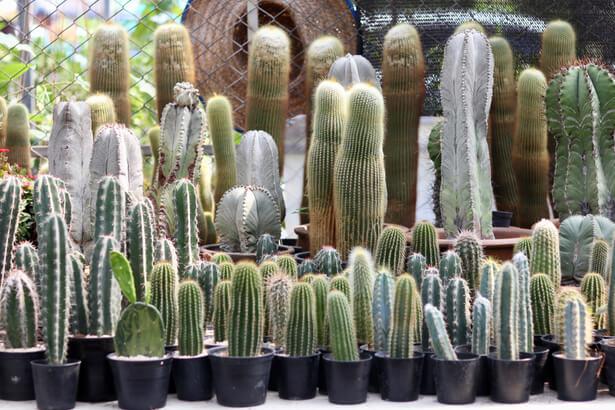 entretien cactus , mini cactus