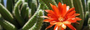 Les cactus, tout savoir pour mieux en profiter