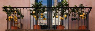 Faire pousser un citronnier ou un oranger au jardin ou sur son balcon